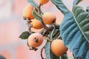 Investigating the anti-diabetic properties of Eriobotrya japonica (loquat)
